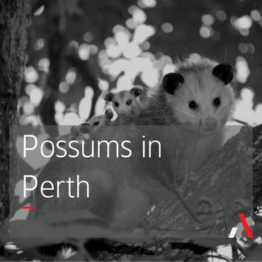 Possums in Perth